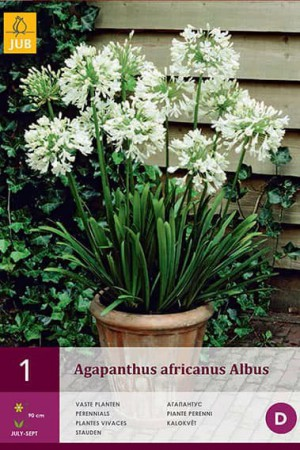 Bulbes à fleurs plantation printemps : Agapanthe Blanche
