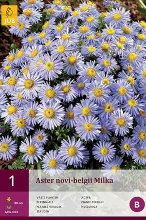Bulbes à fleurs plantation printemps : Aster Bleu