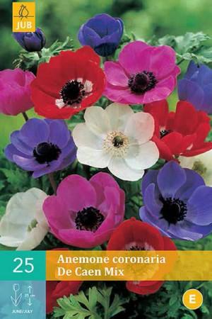 Bulbes à fleurs plantation printemps : Anémone De Caen
