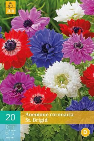 Bulbes à fleurs plantation printemps : Anémone St. Brigid