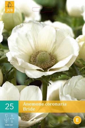 Bulbes à fleurs plantation printemps : Anémone The Bride