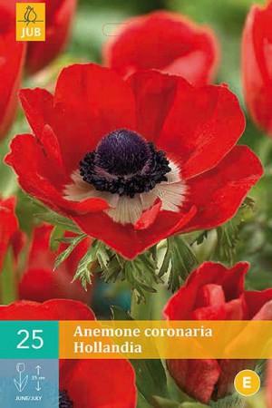 Bulbes à fleurs plantation printemps : Anémone Hollandia
