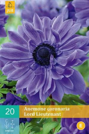 Bulbes à fleurs plantation printemps : Anémone Lord lieutenant