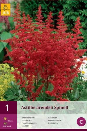 Bulbes à fleurs plantation printemps : Astilbe Rouge