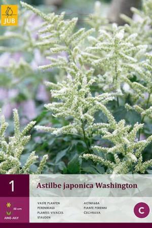 Bulbes à fleurs plantation printemps : Astilbe Blanc