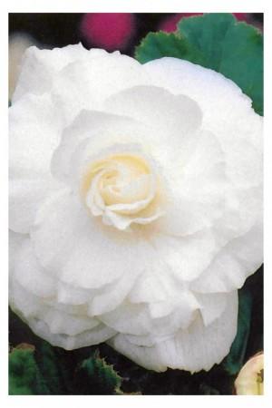 Bulbes à fleurs plantation printemps : Bégonia double Blanc
