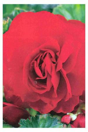 Bulbes à fleurs plantation printemps : Bégonia double Rouge écarlate