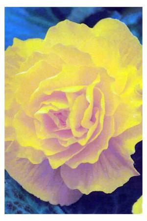 Bulbes à fleurs plantation printemps : Bégonia double Jaune
