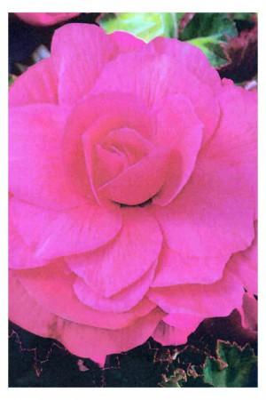 Bulbes à fleurs plantation printemps : Bégonia double Rose