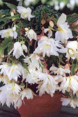 Bulbes à fleurs plantation printemps : Bégonia pendula Blanc