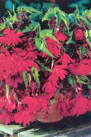 Bulbes à fleurs plantation printemps : Bégonia pendula Rouge écarlate