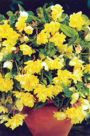 Bulbes à fleurs plantation printemps : Bégonia pendula Jaune