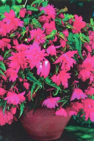 Bulbes à fleurs plantation printemps : Bégonia pendula Rose