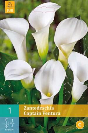 Bulbes à fleurs plantation printemps : Callas Blanc