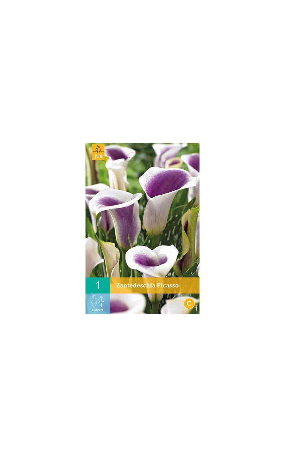 Bulbes à fleurs plantation printemps : Callas Pourpre et ...
