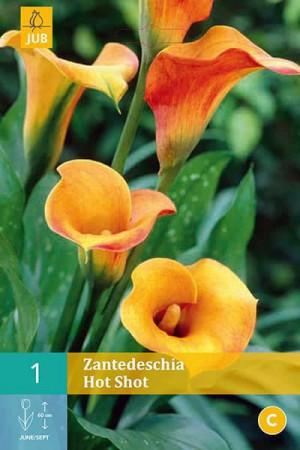 Bulbes à fleurs plantation printemps : Callas Orange