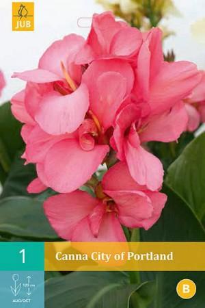 Bulbes à fleurs plantation printemps : Cannas Rose feuille verte