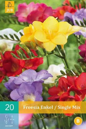 Bulbes à fleurs plantation printemps : Freesia Simple varié