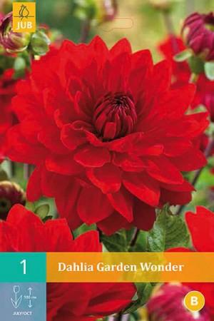 Bulbes à fleurs plantation printemps : Dahlia décoratif Rouge