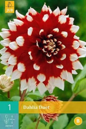 Bulbes à fleurs plantation printemps : Dahlia décoratif Rouge à pointe blanche