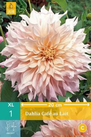 Bulbes à fleurs plantation printemps : Dahlia décoratif fleurs géantes Crème