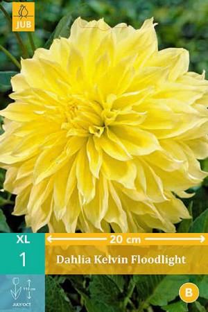 Bulbes à fleurs plantation printemps : Dahlia décoratif fleurs géantes Jaune