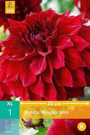 Bulbes à fleurs plantation printemps : Dahlia décoratif fleurs géantes Rouge