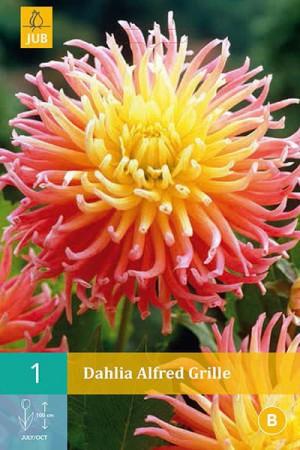 Bulbes à fleurs plantation printemps : Dahlia cactus Rose et jaune