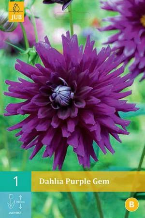 Bulbes à fleurs plantation printemps : Dahlia cactus Pourpre