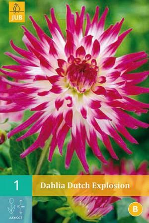 Bulbes à fleurs plantation printemps : Dahlia cactus Mauve à cœur blanc