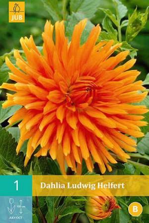 Bulbes à fleurs plantation printemps : Dahlia cactus Orange