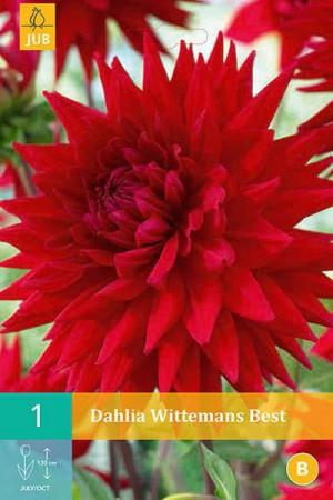 Bulbes à fleurs plantation printemps : Dahlia cactus Rouge