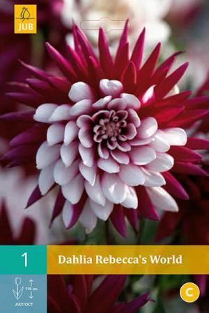 Bulbes à fleurs plantation printemps : Dahlia cactus Bordeaux et blanc