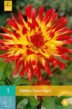 Bulbes à fleurs plantation printemps : Dahlia cactus Rouge à cœur jaune
