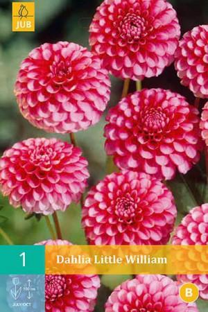 Bulbes à fleurs plantation printemps : Dahlia pompon Rouge et blanc
