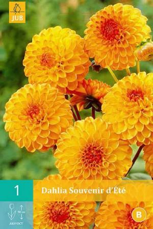 Bulbes à fleurs plantation printemps : Dahlia pompon Orange