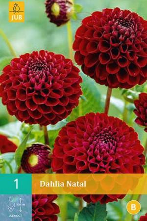Bulbes à fleurs plantation printemps : Dahlia pompon Rouge noir