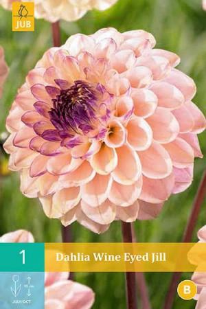 Bulbes à fleurs plantation printemps : Dahlia pompon Rose pâle à cœur foncé