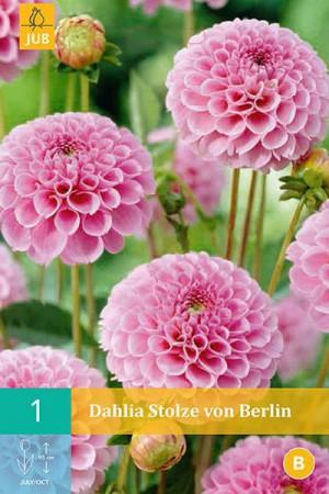 Bulbes à fleurs plantation printemps : Dahlia pompon Lilas rose