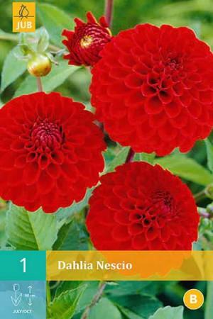 Bulbes à fleurs plantation printemps : Dahlia pompon Rouge vif