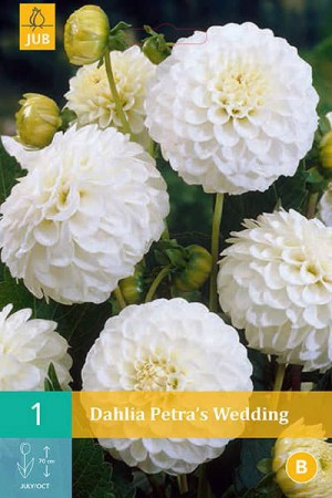 Bulbes à fleurs plantation printemps : Dahlia pompon Blanc