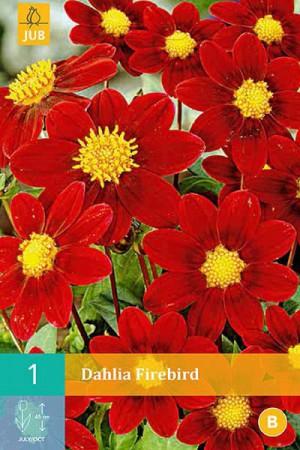 Bulbes à fleurs plantation printemps : Dahlia mignon Rouge