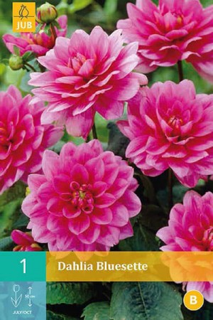 Bulbes à fleurs plantation printemps : Dahlia décoratif nain Violet lilas