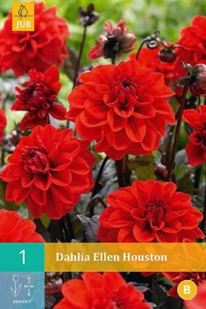 Bulbes à fleurs plantation printemps : Dahlia décoratif nain Rouge à feuille foncée