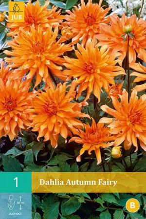 Bulbes à fleurs plantation printemps : Dahlia décoratif nain Orange