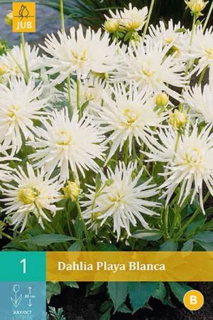 Bulbes à fleurs plantation printemps : Dahlia cactus nain Blanc