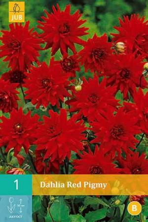 Bulbes à fleurs plantation printemps : Dahlia cactus nain Rouge
