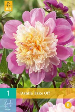 Bulbes à fleurs plantation printemps : Dahlia à fleur d'anémone Rose