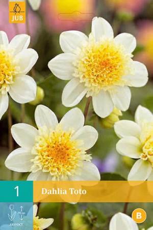 Bulbes à fleurs plantation printemps : Dahlia à fleur d'anémone Blanc à cœur jaune