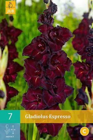 Bulbes à fleurs plantation printemps : Glaïeul Noir
